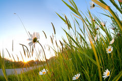 Gold sunshine and chamomile flowers Stock Photography