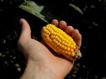 Gold sweet corn vegetable Stock Photos