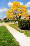 Gold tabebuia aurea tree in full bloom, Florida Stock Photography