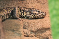 Gold tegu Royalty Free Stock Photography