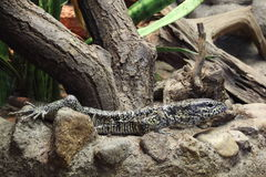 Gold tegu Stock Photo
