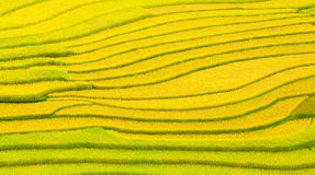 Gold terraced rice fields with sunlight in Mu Cang Chai, Vietnam Royalty Free Stock Image