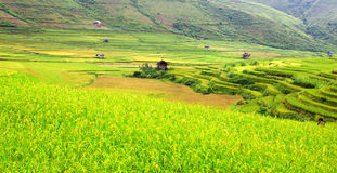 Gold terraced rice fields with sunlight in Mu Cang Chai, Vietnam Royalty Free Stock Images