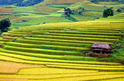 Gold terraced rice fields with sunlight in Mu Cang Chai, Vietnam Stock Photos