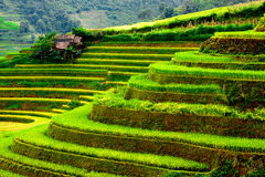 Gold terraced rice fields with sunlight in Mu Cang Chai, Vietnam Royalty Free Stock Photo