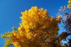Gold Tree. Bright golden tree in the fall Royalty Free Stock Photography