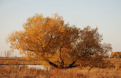 Gold tree. Gold autumn tree in nothern Kazakhstan Royalty Free Stock Photo