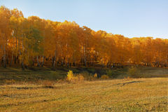Gold trees. Trees in gold fall at september Royalty Free Stock Photos