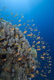 Gold Tropical Fish And Coral Reef Royalty Free Stock Photography