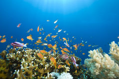 Gold Tropical fish and coral reef Royalty Free Stock Images