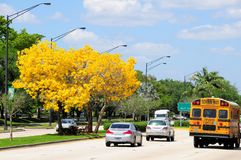 Gold trumpet tree in full bloom in median, Florida Stock Photography