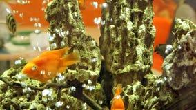 Gold und gelbe Fische, die im Aquarium schwimmen Sprudelnde Felsen der Wasserblasen auf Hintergrund stock video