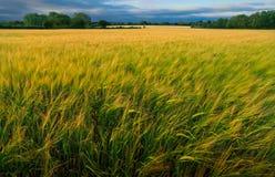 Gold und Grün-Feld der Gerste Stockfoto