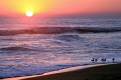 Gold und purpurroter Sonnenuntergang über den tropischen Vögeln, die auf pazifischem OC weiden lassen stockfotografie