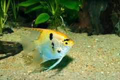 Gold Veil Angelfish Stock Images