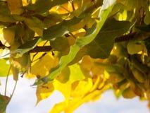 Gold verlässt im Bauerndorf @ Crookham, Northumberland, England Stockfotografie