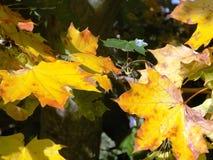 Gold verlässt im Land-Garten @ Crookham, Northumberland, England Stockfotografie