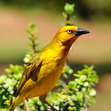 Gold weaver bird. Weavers are small passerine birds related to the finches Royalty Free Stock Photo