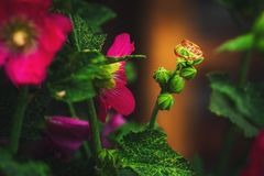 Gold wedding rings on flowers. Macro photography of gold rings and flowers Stock Image