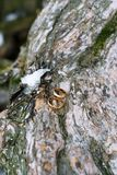 Gold wedding rings lying on the bark of the tree royalty free stock photography