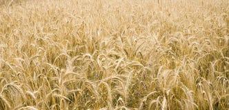Gold wheat Royalty Free Stock Photos