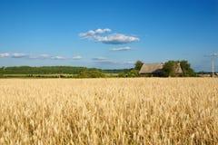 Gold wheat Royalty Free Stock Photo
