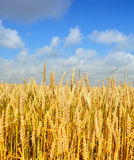 Gold wheat Royalty Free Stock Photo