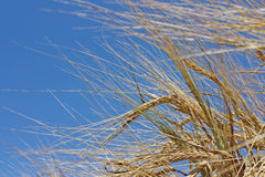 Gold wheat Royalty Free Stock Images