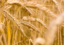 Gold wheat. Golden wheat growing in a farm field, closeup on ears Royalty Free Stock Images