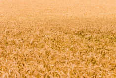 Gold wheat. Golden wheat growing in a farm field Stock Images