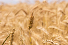 Gold wheat. Golden wheat growing in a farm field, closeup on ears Stock Images