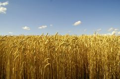 Gold wheat Stock Image