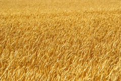 Gold Wheat Stock Images