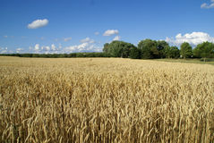 Gold wheat Stock Photography