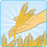 Gold wheat. The man keeps in the palm gold wheats Royalty Free Stock Photos