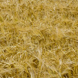 Gold wheat background Stock Photo