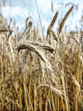 Gold wheat and blue sky Royalty Free Stock Photography