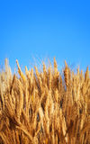 Gold wheat on blue sky Royalty Free Stock Images