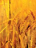 Gold wheat close-up Stock Images
