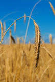 Gold wheat ear Royalty Free Stock Photo