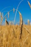 Gold wheat ear