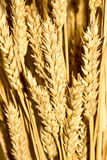 Gold wheat ears Stock Photo