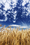 Gold wheat field Stock Images