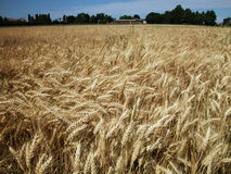 Gold wheat field. Landscape of gold wheat field ready to harvest in coutryside Stock Photo
