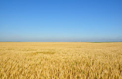 Gold wheat field. Under the blue summer sky Stock Images