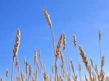 Gold wheat field Royalty Free Stock Photography