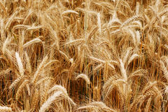 Gold wheat field Royalty Free Stock Images