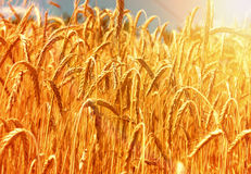Free Gold Wheat Field Stock Images - 43024604