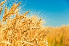 Free Gold Wheat Field Stock Photo - 57378970