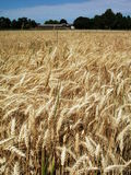 Gold wheat field royalty free stock image